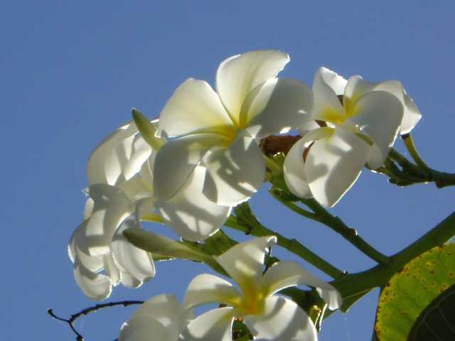 fleurdefrangipanierdanslarbre.jpg