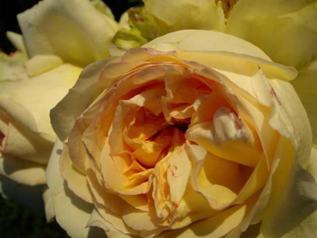 roseanglaise.jpg